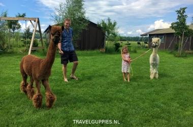 Boerenbed alpaca's uitlaten