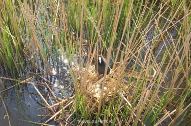 Meerkoet nest Heeg